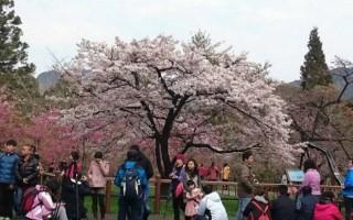 每年3、4月初春百花绽放,是出游好时节。图为阿里山国家森林游乐区樱花盛开。(嘉义林管处 /提供)