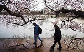 2016年3月22日,华府樱花即将进入盛开季。图为远眺杰佛逊纪念堂。(JIM WATSON/AFP/Getty Images)