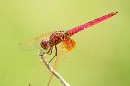 蜻蜓(攝影:王嘉益 / 大紀元)