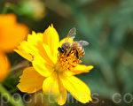 蜜蜂(摄影:王仁骏 / 大纪元)