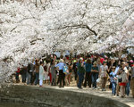 华府潮汐湖畔的樱花树已有近百年历史,每年吸引著全美各地的上百万游客前来赏花。(Mark Wilson/Getty Images)