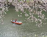 繁花满枝,粉白的花朵簇拥在一起,显得格外恬淡、静谧。摄于东京的千鸟渊。(卢勇/大纪元)