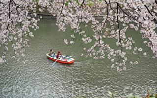 組圖:東京進入落櫻紛紛的浪漫時節