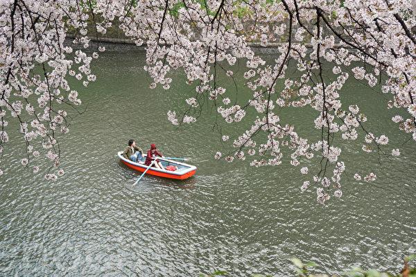 组图:东京进入落樱纷纷的浪漫时节
