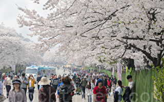组图:韩国首尔大公园樱花庆典浪漫登场