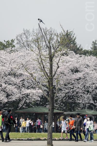 韩国首尔大公园举行樱花庆典(4,8日~17日),国内外游客被樱花烂漫春意浓浓的大自然陶醉。(全景林/大纪元)