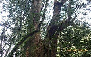 台原住民鲁凯族领地发现2500多年前桧木