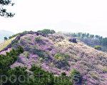 位于韩国北端的江华郡4月12~26日举行高丽山杜鹃花节,在这期间高丽山杜鹃花争相怒放,变成粉红色的世界。(全景林/大纪元)