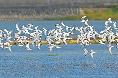 反嘴鸻全身黑白色,嘴尖细而上翘,脚长呈蓝灰色,嘴黑色、眼黑色,在台湾多数地区为非常罕见的冬候鸟。(嘉义林管处提供)