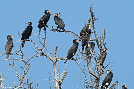 鳌鼓湿地丰富多变的环境,有200多种的鸟类,鸬鹚(如图)是冬候鸟,身体比鸭狭长,体羽为金属黑色,是捕鱼高手。(嘉义林管处提供)