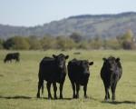 S.Kidman是澳洲最大的私人地主,在南澳、昆省、西澳和北部行政區有超過10萬平方公里的11個牧場,有近20萬頭牛。(AAP)