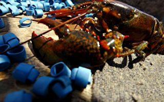 纽约长岛海湾龙虾绝迹 原因成谜