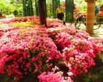 日本东京练马区平成杜鹃花公园杜鹃花季登场。(林可容/大纪元)