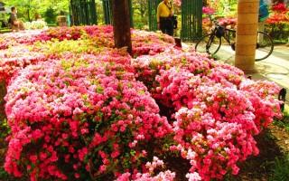 组图:东京杜鹃花季 春天的颜色叹为观止