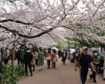 3-4月间预计有超过50万中国人去日本赏樱花。图为东京的千鸟渊。(卢勇/大纪元)