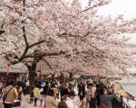 今年清明节正值日本樱花盛开,根据大陆旅游业的数据,中国人赴日韩赏花十分火爆,但部分中国游客赏樱行为令日本人倍感震惊。图为东京的樱花。(牛彬/大纪元)