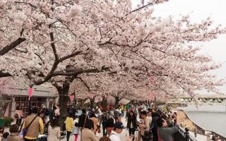 今年清明節正值日本櫻花盛開,根據大陸旅遊業的數據,中國人赴日韓賞花十分火爆,但部份中國遊客賞櫻行為令日本人倍感震驚。圖為東京的櫻花。(牛彬/大纪元)