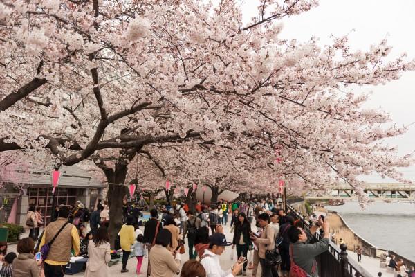 清明恰逢樱花开 中国人赏樱行为震惊日本人