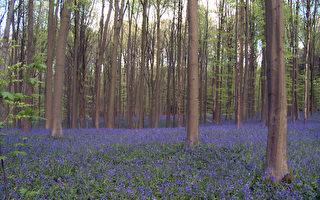 位於比利時哈爾的藍色森林。(大紀元)