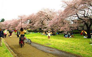 組圖:清明花見正當時 野川公園櫻花滿開