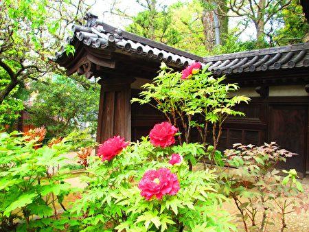 東京新宿區下落合町的藥王寺,4月16日牡丹花盛開。在古廟寺院境中賞牡丹,回復古時情,心緒沈靜明淨。(容乃加/大紀元)