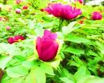 药王院座落于东京新宿区下落合町,4月16日牡丹花盛开,一院若荷池花海。在古庙寺院境中赏牡丹,回复古时情,心绪沉静明净。(容乃加/大纪元)