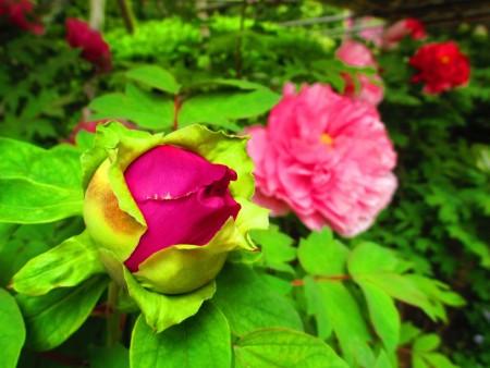 穀雨到了,牡丹花季來臨,花苞滿孕生命力。(容乃加/大紀元)
