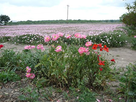 图:Wild Seed Farms入口处的灿烂花海。﹝谢行昌提供﹞