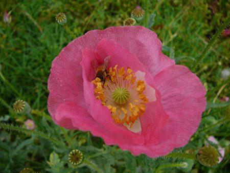 图:这是家门前的野生罂粟花,野蜂正在花间采蜜哪!﹝谢行昌提供﹞