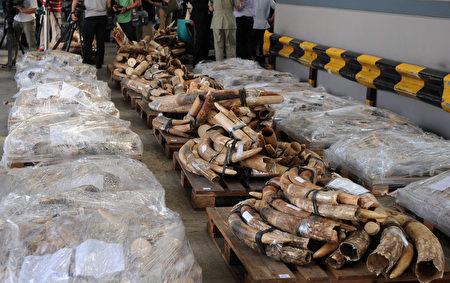 在非洲其他地区,为了象牙而偷猎大象的现象一直猖獗,亚洲则是最主要的非法象牙商品市场。(AFP PHOTO / Dale de la Rey)