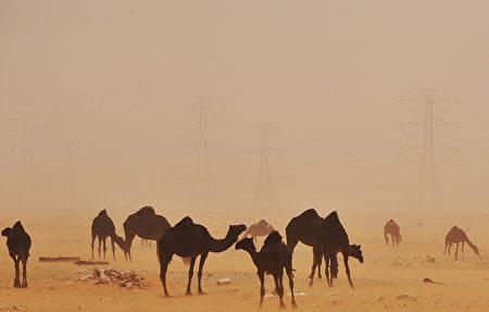 印度拉贾斯坦邦一只骆驼在烈日下被绑一整天,当其主人替它松绑时,它竟将主人主人的头咬断。图为沙漠中的骆驼。(FAYEZ NURELDINE/AFP)