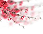 cherry blossoms(shutterstock)