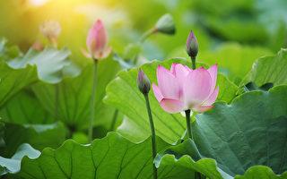蓮花(fotolia)
