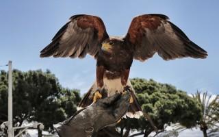 組圖:防海鷗騷擾貴客 戛纳飯店有請老鷹出馬