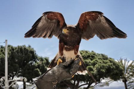 2016年5月12日,戛纳马丁尼兹君悦酒店安排老鹰,驱赶俯冲下来偷吃食物的海鸥。(Neilson Barnard/Getty Images)