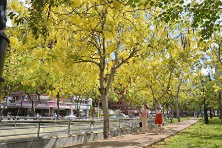 5月高雄,街头岁处可见黄澄澄有如葡萄串的阿勃勒花朵绽放。(高市工务局提供)
