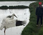 滞留金山的稀客西伯利亚小白鹤,先前与当地农友黄正俊(右)互动颇佳。(台湾生态工法基金会提供)