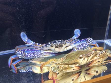 农委会水试所远海梭子蟹、善泳蟳蟹两种蟹苗人工培育技术。图为远海梭子蟹。(施芝吟 /大纪元)