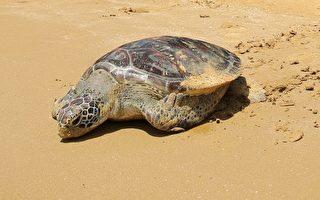 """世界海洋日前夕,新北市动保处28日在盐寮海滨公园的沙滩上,成功野放绿蠵龟""""阿杜""""回到大海。(新北市政府提供)"""