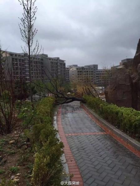 5月3日,大连市遭遇9级大风袭击,街面到处都是被风连根拔起的大树倒地,许多车辆被大树压毁,有的楼房的玻璃穿被刮碎,一片狼藉。(网络图片)