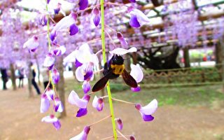 时过境迁一千二百岁,紫藤花开,年年蜂儿依依来徘徊。(可容/大纪元)