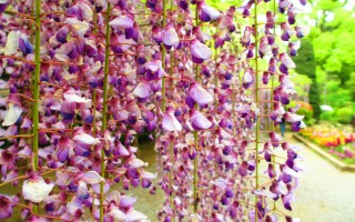紫藤開花!愛花人讚為世界美景之一。(可容/大紀元)