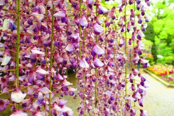 紫藤花開 日本名花紫霧盎然