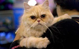貓的爪子對貓來說是非常重要的工具,比如攀爬、撓癢癢、抓取食物等,都需要用到爪子。 (DIANA SANCHEZ/AFP/Getty Images)