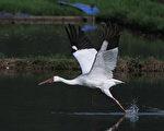 滞留台湾第513天的西伯利亚白鹤,4日遇见3只东方白鹳,乘着南风展翅高飞。这是一只人见人爱的娇客。(Tibusungu Chen/中央社提供)
