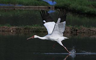 金山白鹤回栖地 无毒环境自求多福