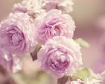 粉红玫瑰。(Pixabay)