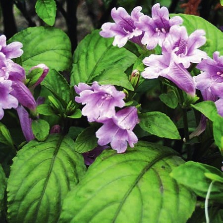 马蓝又名南板蓝根,是一种爵床科草本植物,分布在中国东南和西南一带,叶和根均可入药。其嫩叶可加工蓝靛。(网络图片)