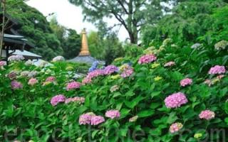 日本梅雨季节的紫阳花色彩斑斓,种类各异(曹景哲/大纪元)