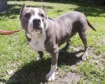 蒙特利爾的一隻名為Athena的鬥牛犬在防虐待動物機構(SPCA)散步。(加通社)